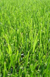 green grass growing
