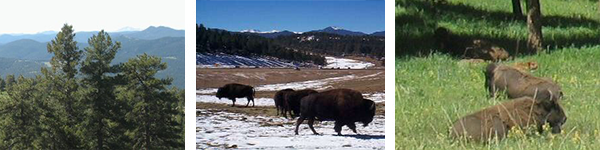 There are three images placed side by side, the first displays the tops of pine trees with the Rockies in the background, the second 2 images are of Bison in their environment surround by plants, snow, and tress
