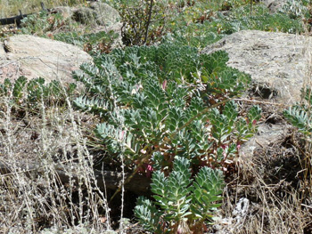 myrtle spurge growing in a rock garden