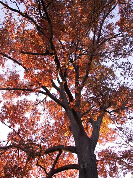 looking up at a tree's red autumn leaves