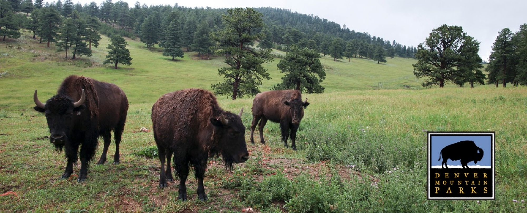 bison herd at genesee park