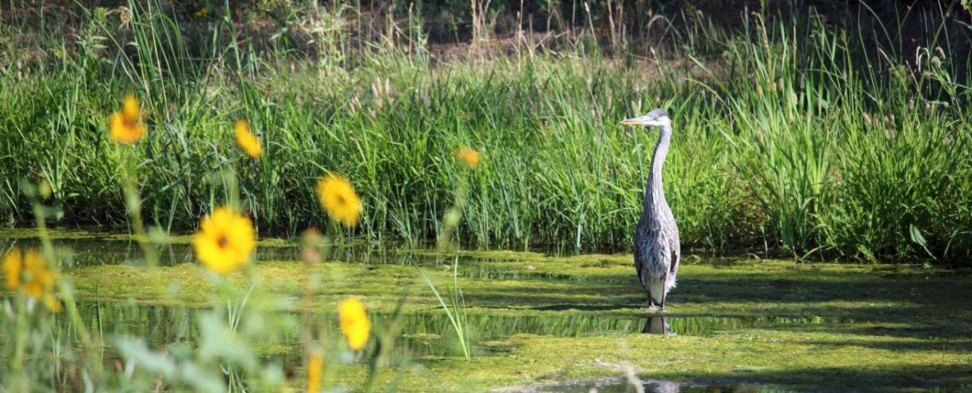 Blue Heron wading in the water in a designated Open Space