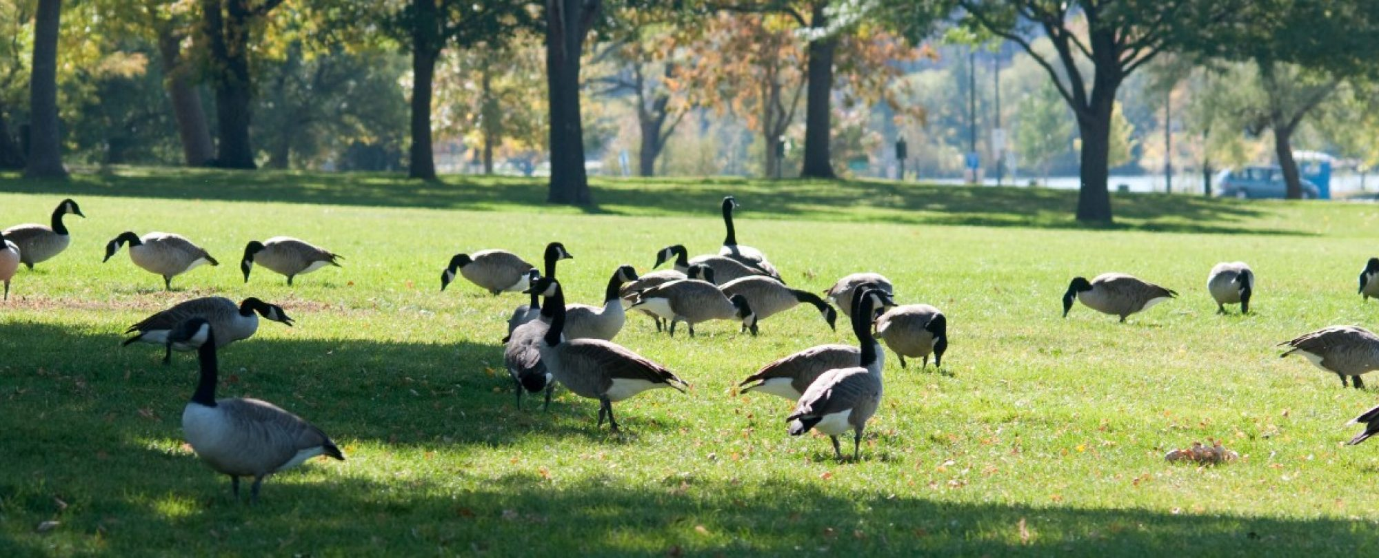 Geese in a park