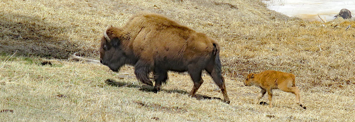 mountainparks_bisoncalf.jpg